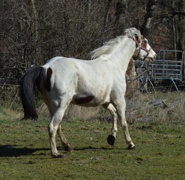 Crystal jument painthorse
