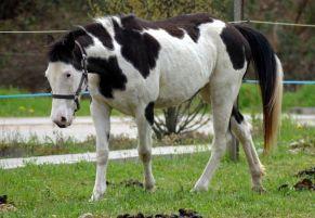 Virginie pouliniere painthorse