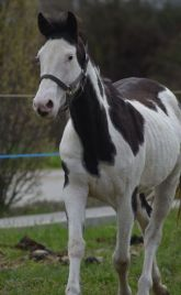 Virginie jument painthorse