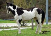 virginie pouliniere painthorse black overo